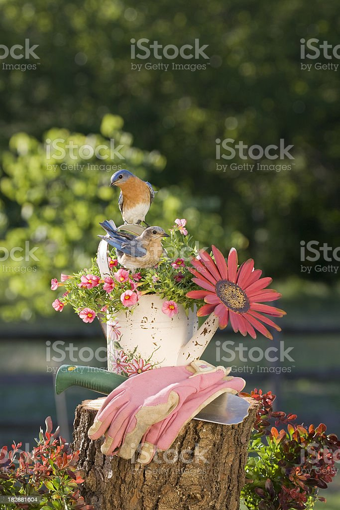 Pair of Eastern Bluebirds royalty-free stock photo