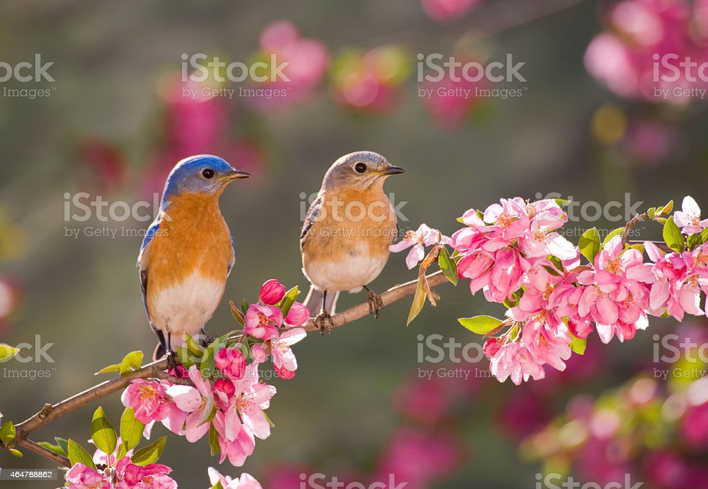 Pair of Eastern Bluebirds stock photo