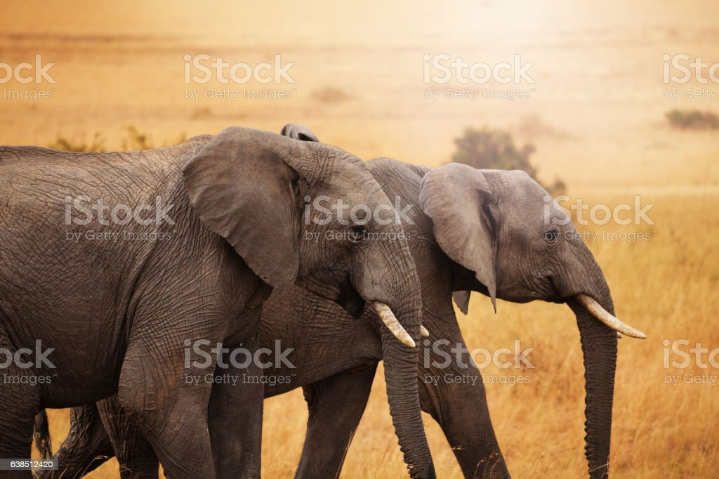 Pair of elephants walking together in savannah stock photo