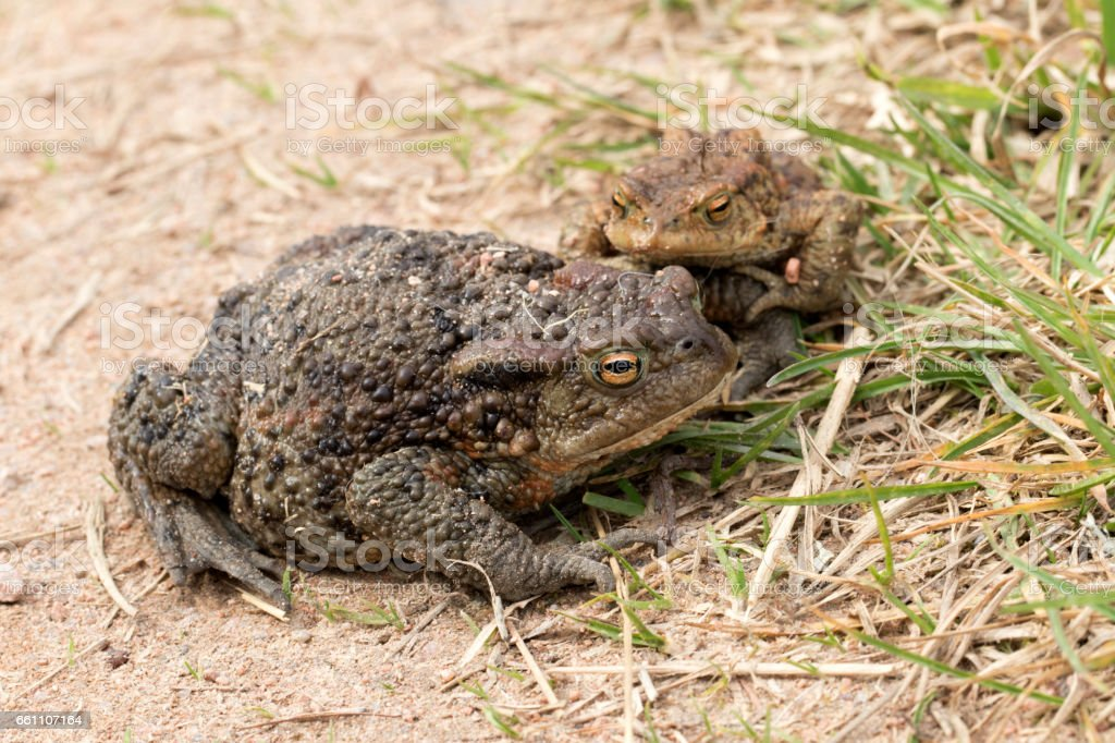 Pair of European Common Toads (Bufo bufo) stock photo