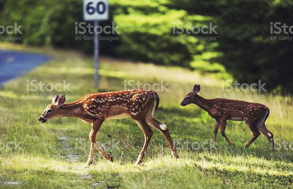 Pair of Fawn stock photo
