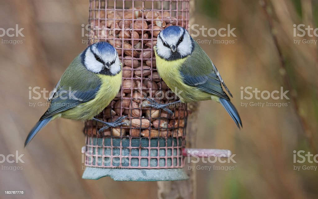 Pair of Feeding Blue Tits stock photo