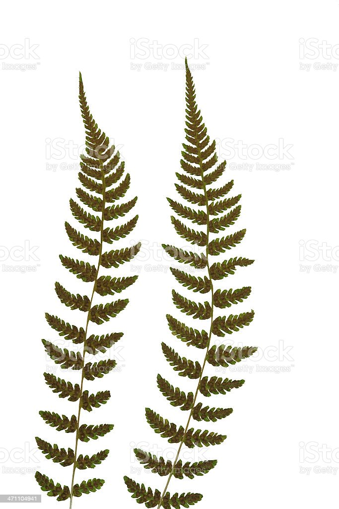 pair of fern fronds vertical isolated royalty-free stock photo