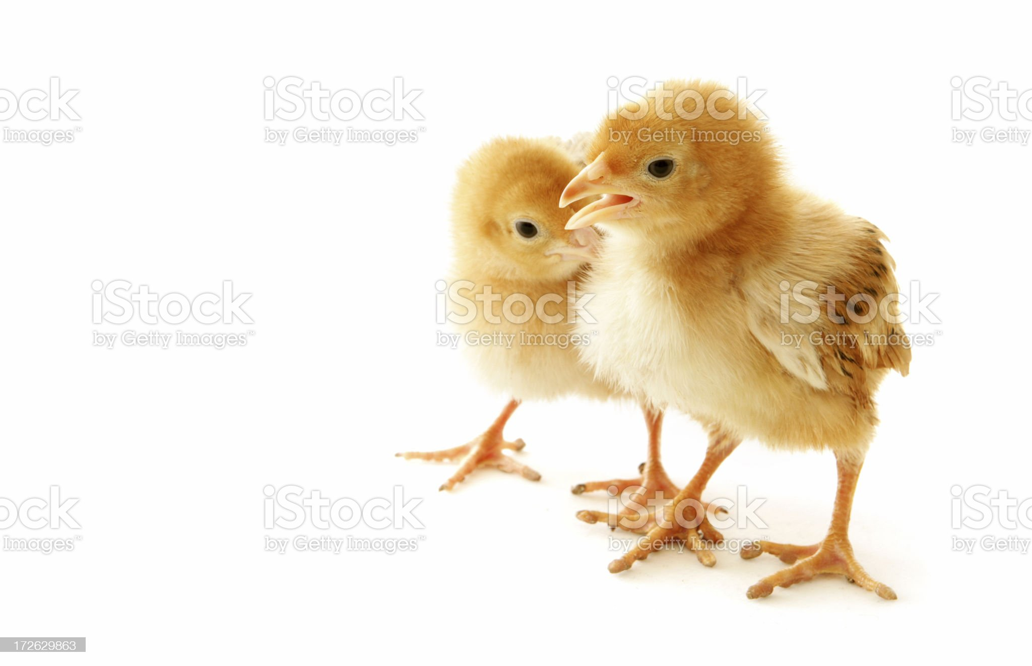 Pair of Fluffy Chickens royalty-free stock photo