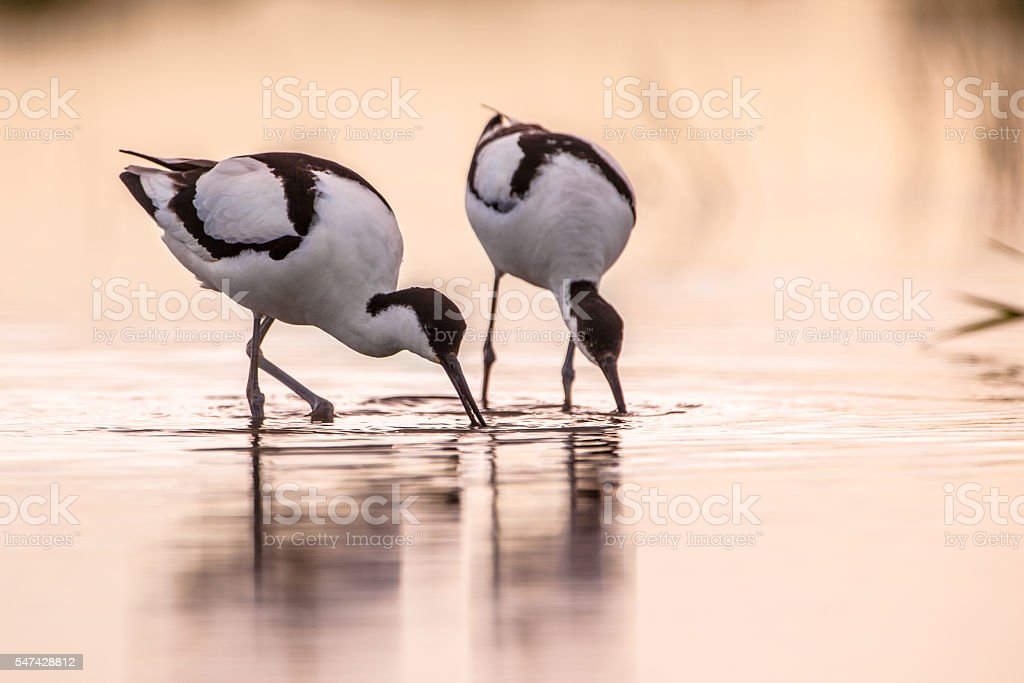 Pair of foraging pied avocet  in morning light stock photo