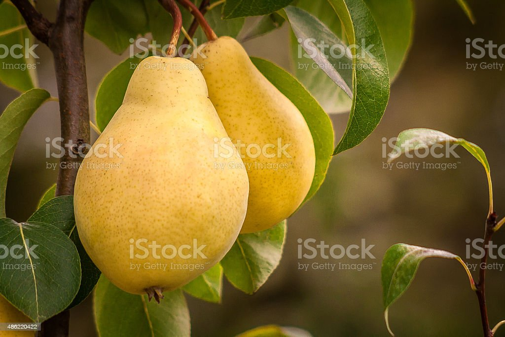 Pair of fresh ripe yellow pears on a tree branch stock photo