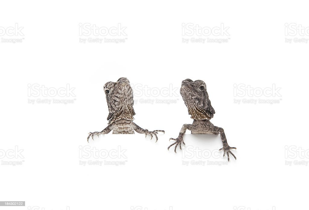 Pair of Frilled-neck Dragon, sitting together stock photo