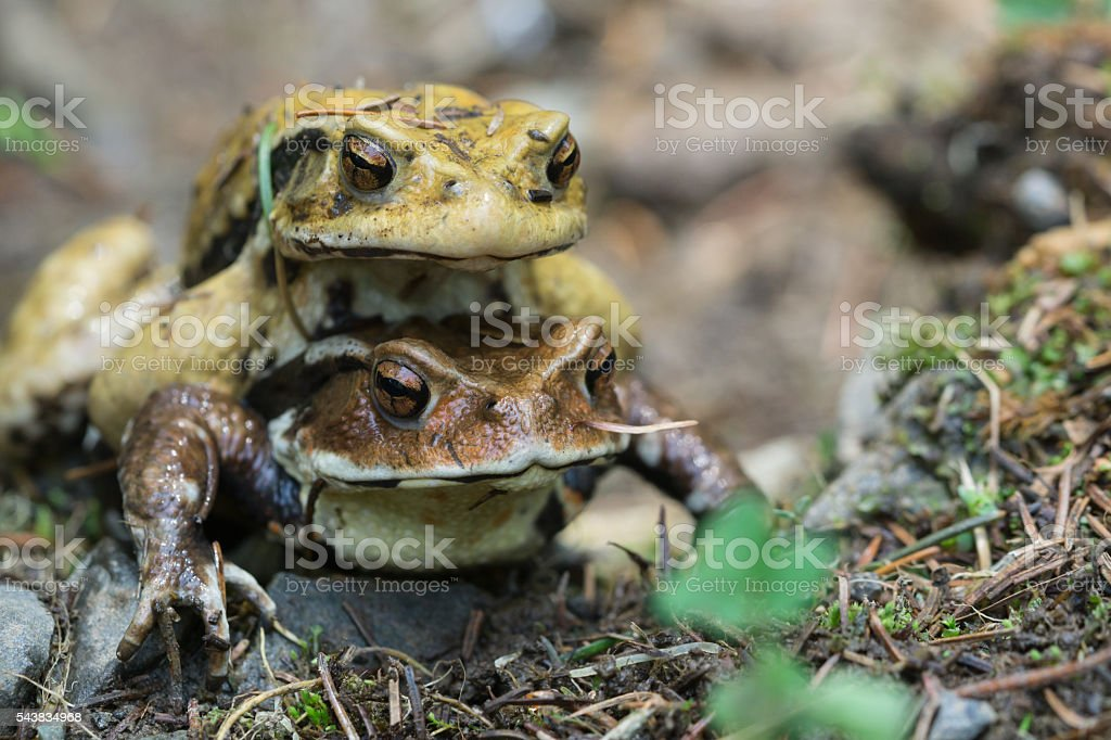 Pair of frog stock photo