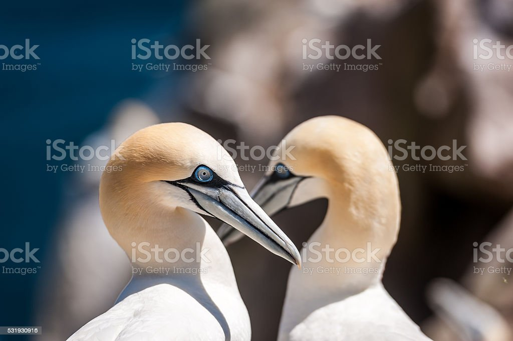 Pair of Gannets stock photo