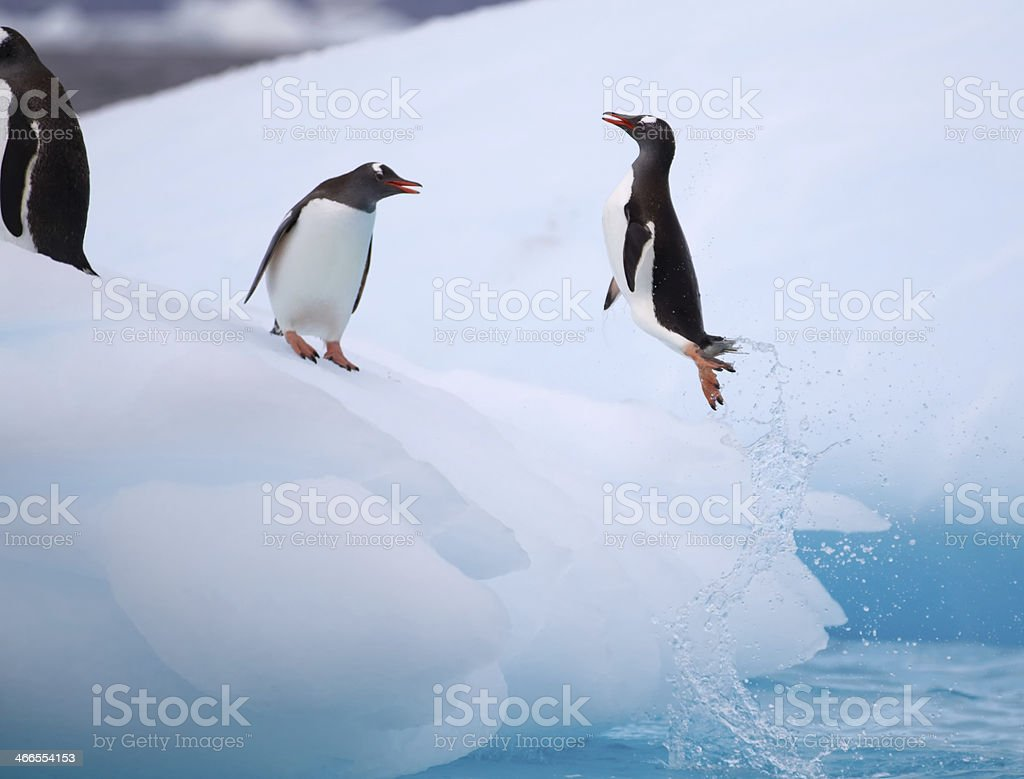 A pair of Gentoo Penguins jumping from an iceberg stock photo