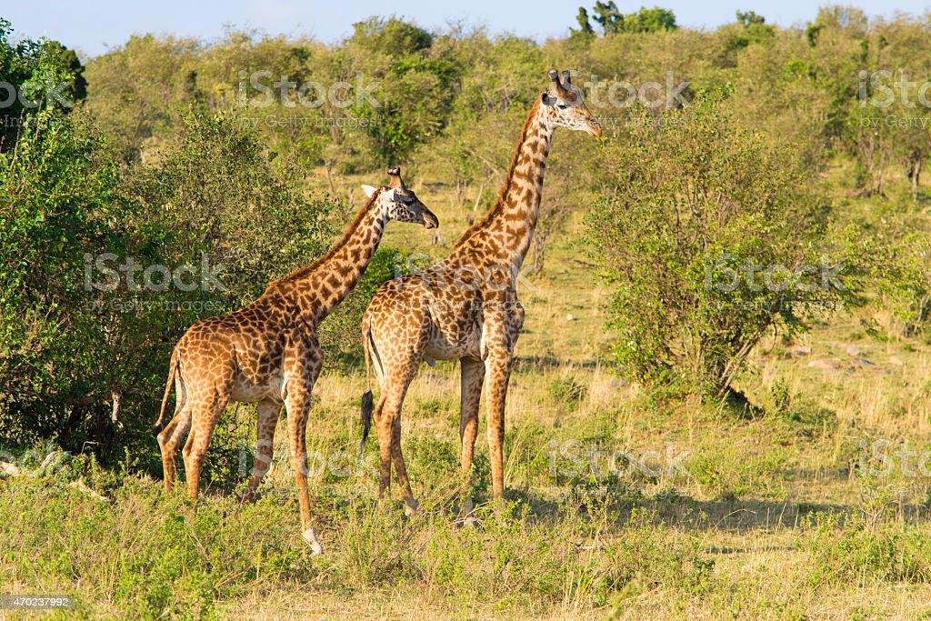 Pair of giraffes stock photo