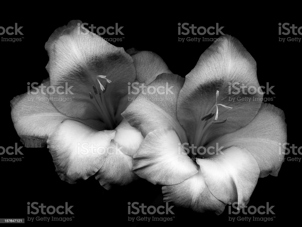 Pair of gladiolas. stock photo