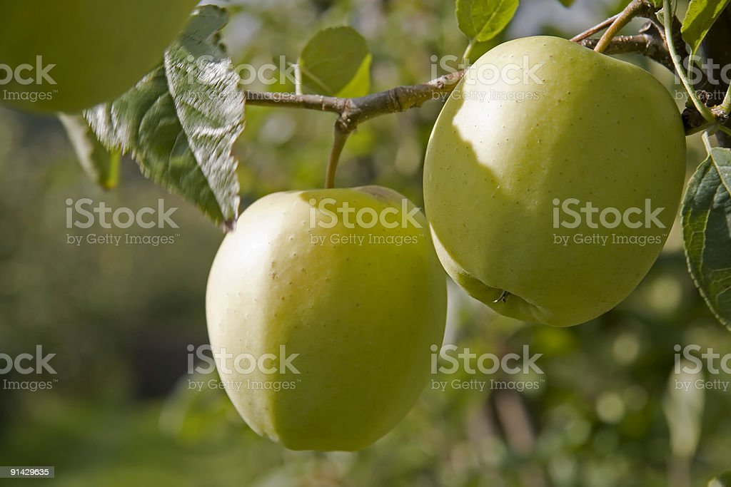 Pair of Golden Delicious green apples on tree royalty-free stock photo