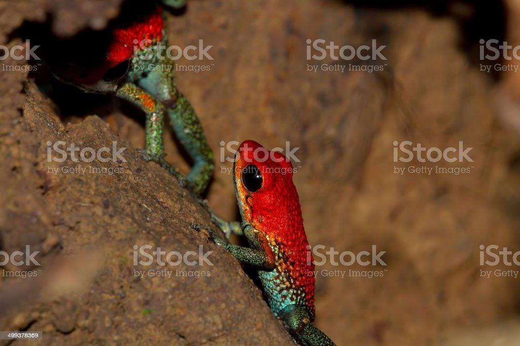 Pair Of Granular Poison Arrow Frogs stock photo