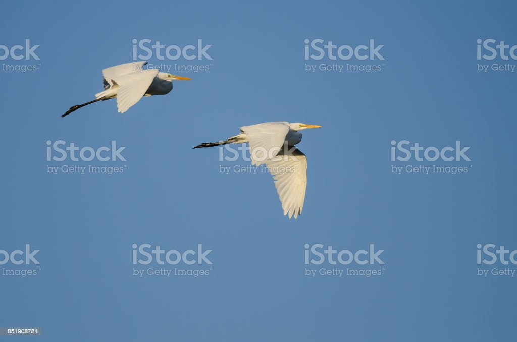 Pair of Great Egrets Flying in Blue Sky stock photo