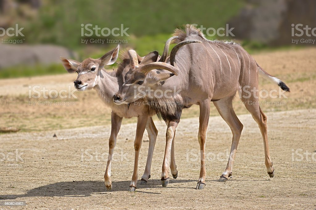 Pair of greater kudus stock photo