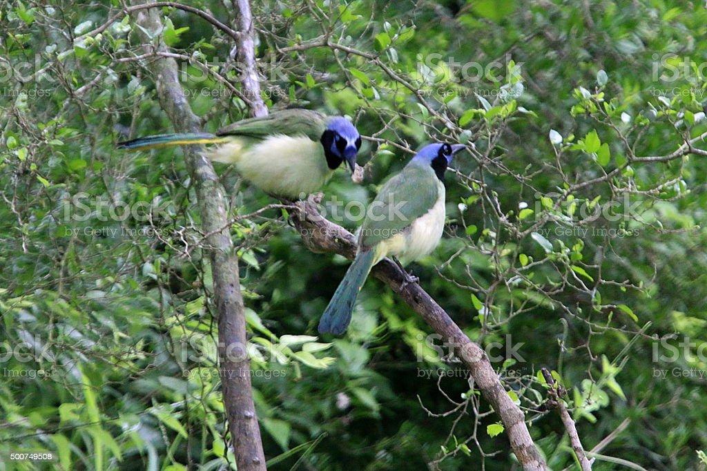 Pair of Green Jays Resting - Louisiana stock photo