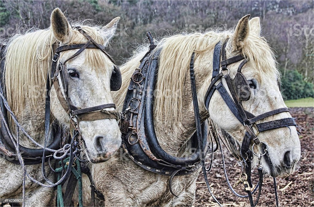 Pair of grey Plough Horses stock photo