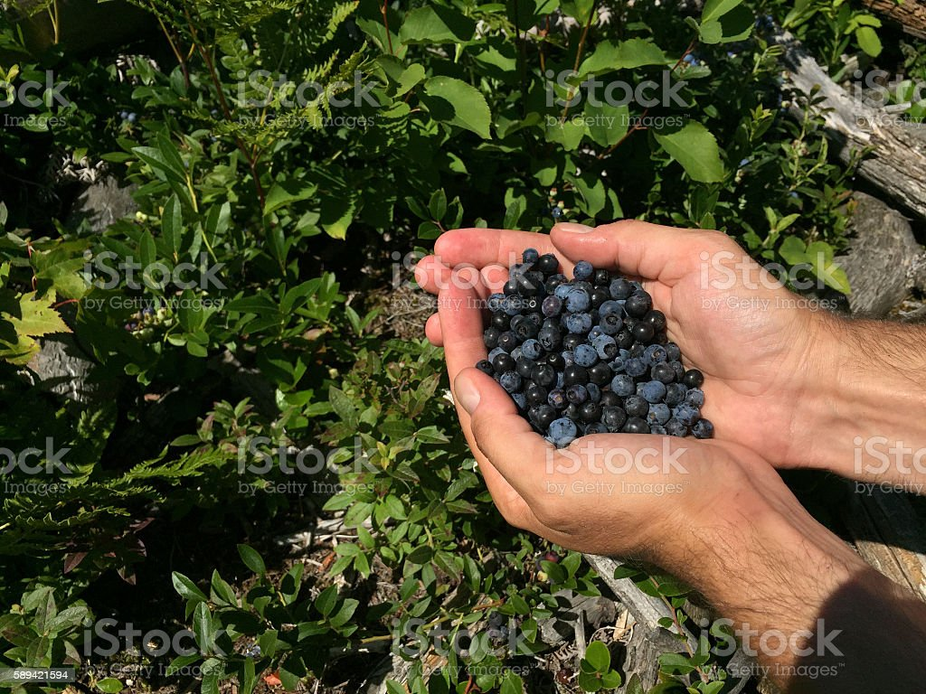 Pair of Hands Hold Out Fresh Picked Wild Blueberries royalty-free stock photo