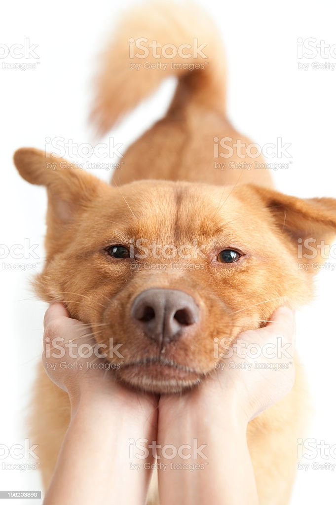 Pair of hands holding a happy brown dog's snout royalty-free stock photo