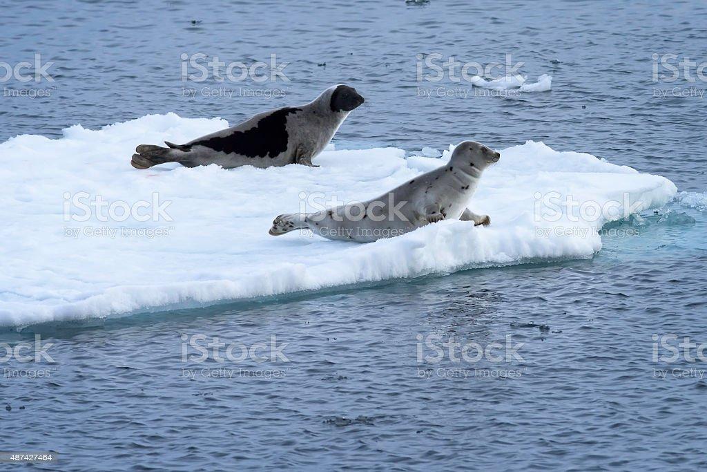Pair of harp seals in the Arctic ocean. stock photo