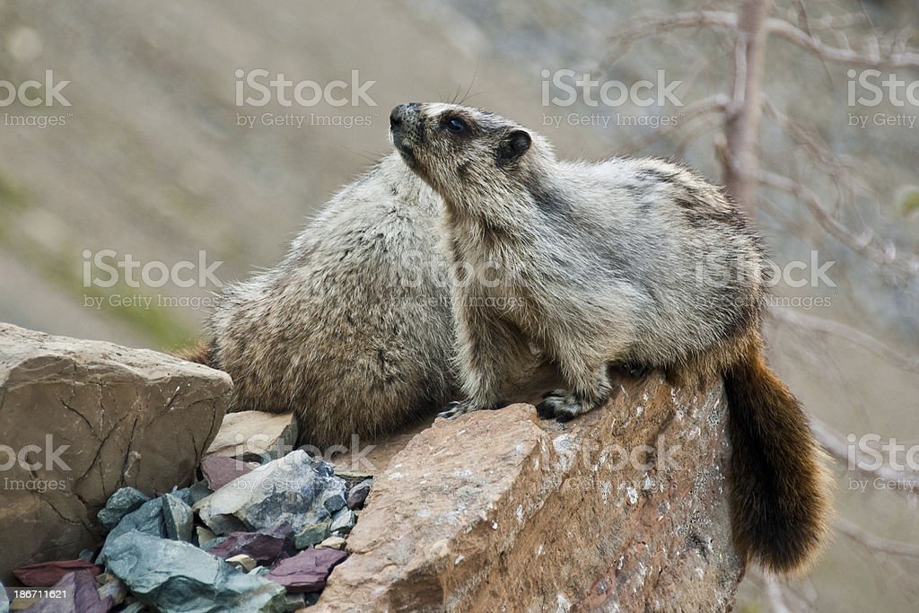 Pair of Hoary Marmots on a Boulder royalty-free stock photo