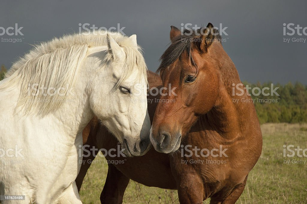Pair of horses showing affection stock photo