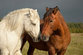 Pair of horses showing affection
