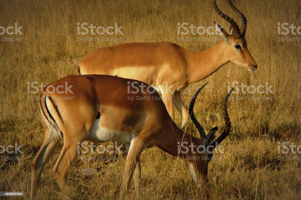 Pair of impalas in Moremi Crossing National Reserve, Botswana stock photo