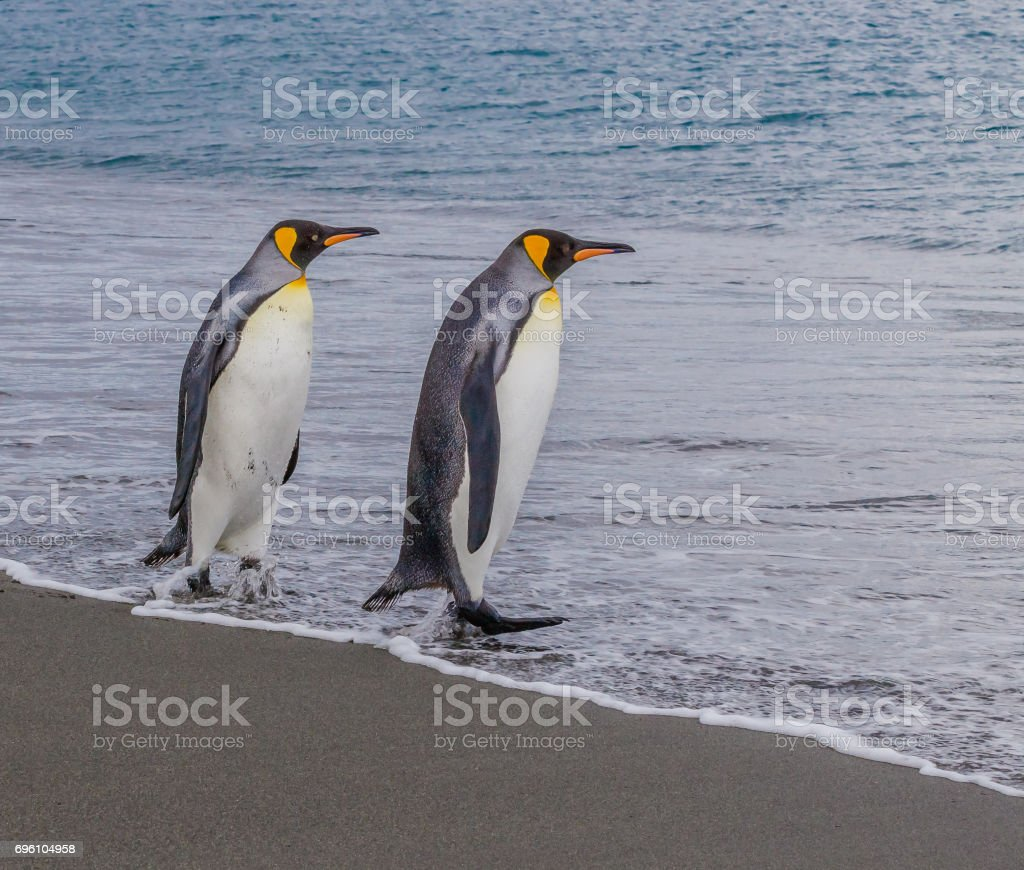 Pair of King penguins enter the water on South Georgia stock photo
