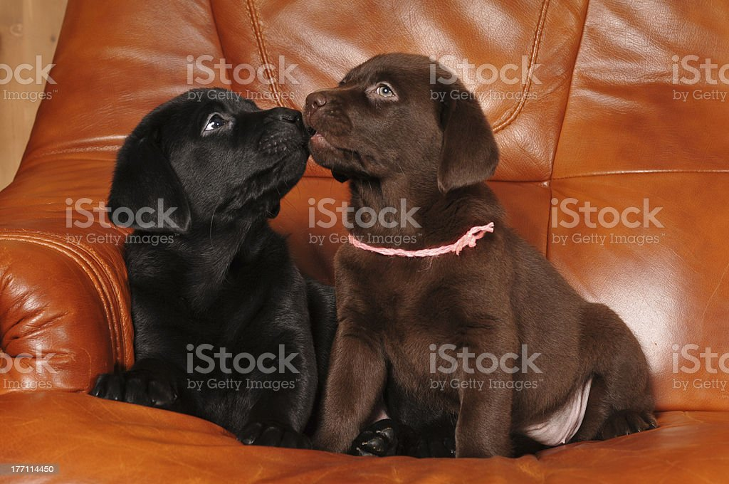 Pair of labrador puppies kiss each other royalty-free stock photo