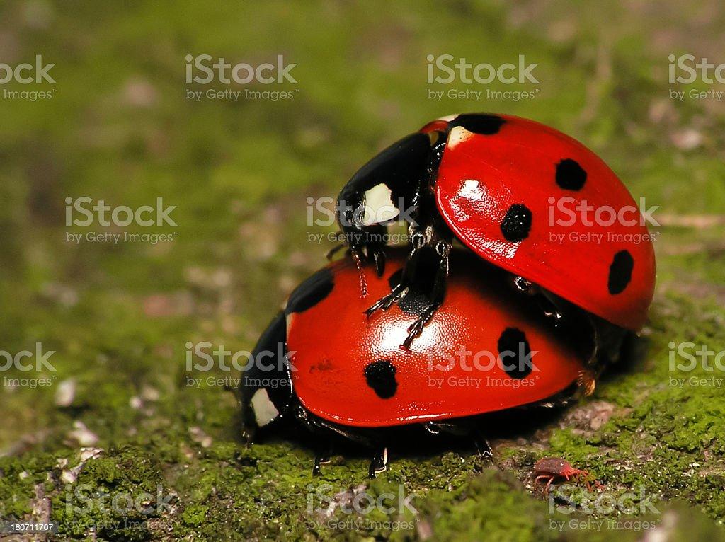 Pair of Ladybugs royalty-free stock photo