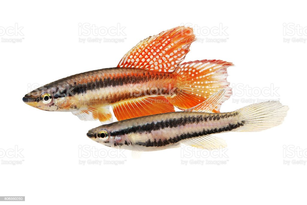 Pair of Lagos Red Killifish aquarium fish Killi Aphyosemion bitaeniatum stock photo