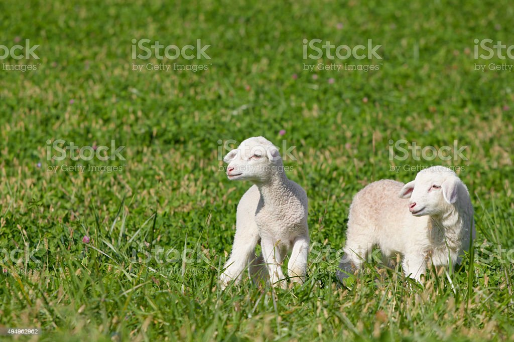 Pair of lambs on green grass meadow stock photo