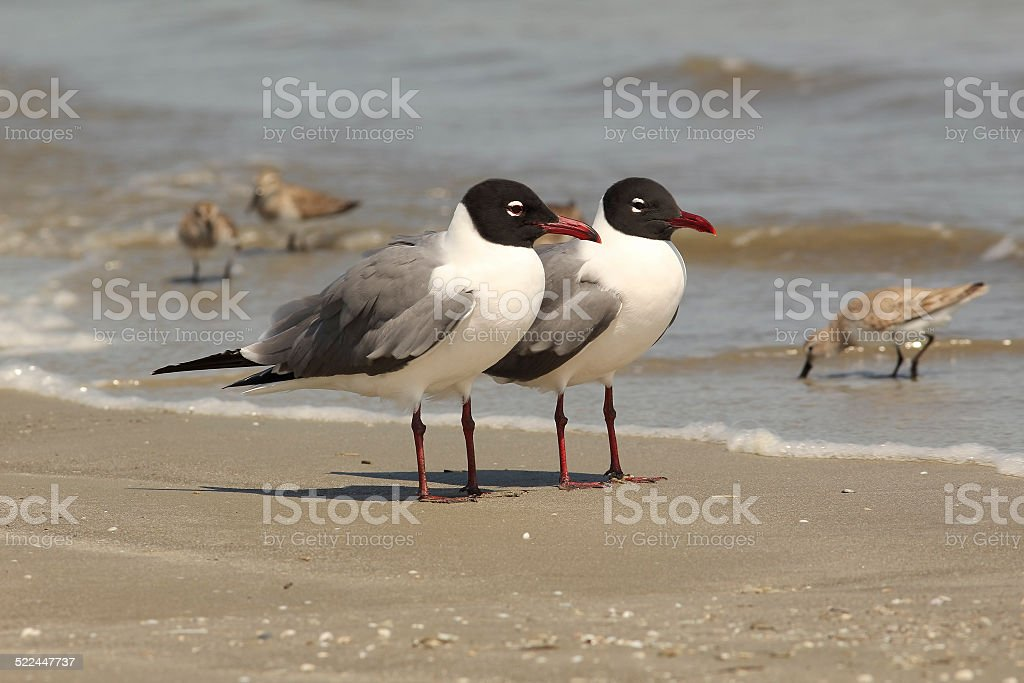 Pair of Laughing Gulls on the Beach - Georgia stock photo