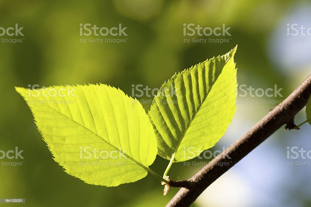 Pair of leaves warmed sunlight stock photo