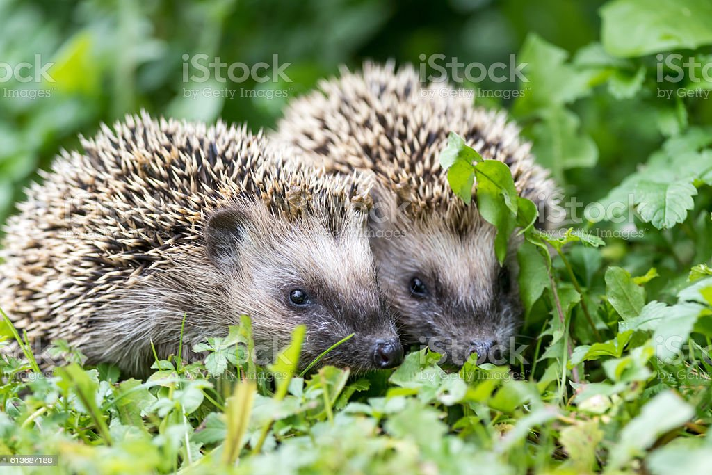 Pair of little hedgehogs outdoors stock photo