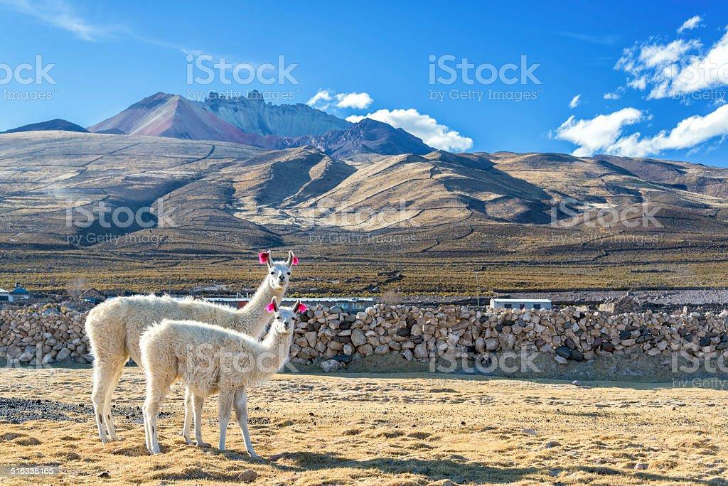 Pair of Llamas stock photo