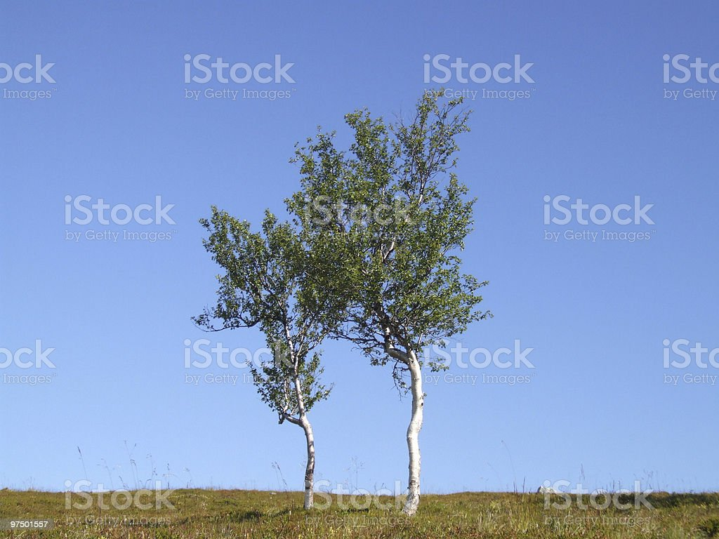 Pair of lonely birch trees stock photo