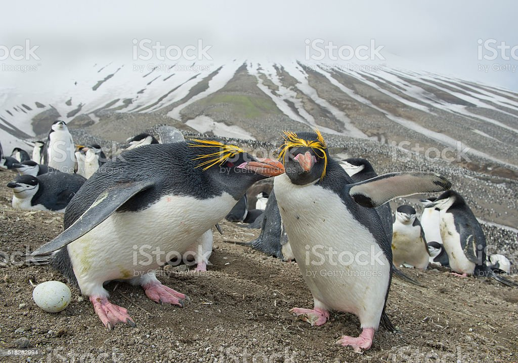 Pair of macaroni penguins standing in the nest with egg stock photo