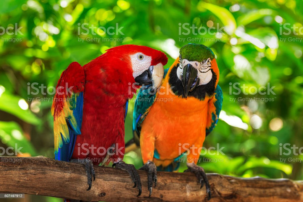 pair of macaws perching on a branch stock photo