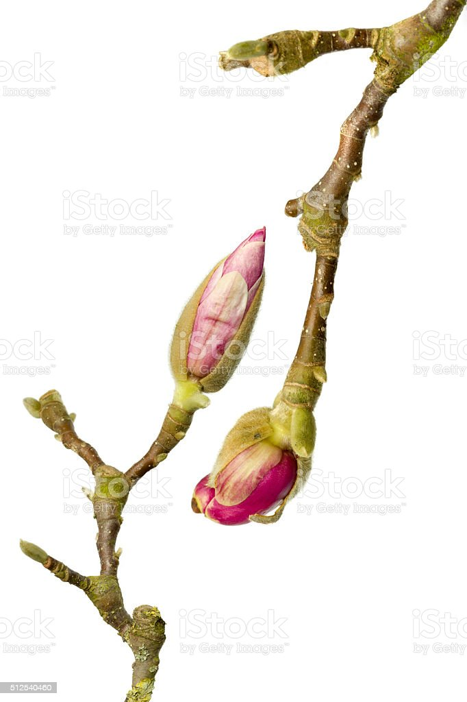 Pair of magnolia branches stock photo