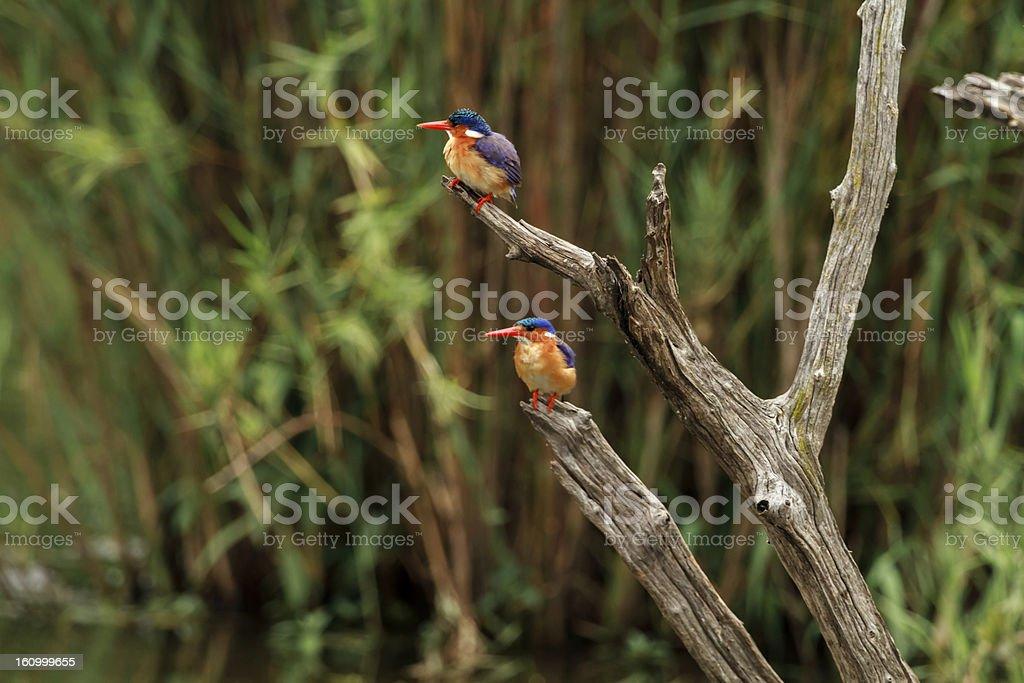 Pair of Malachite Kingfishers royalty-free stock photo