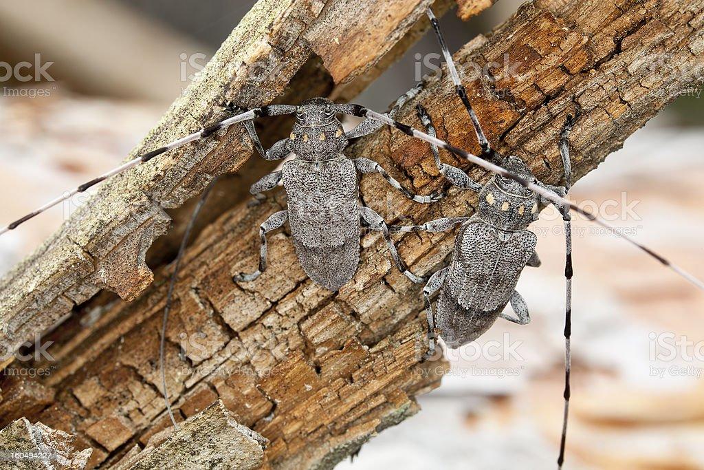 Pair of male timbermen, acanthocinus aedilis royalty-free stock photo