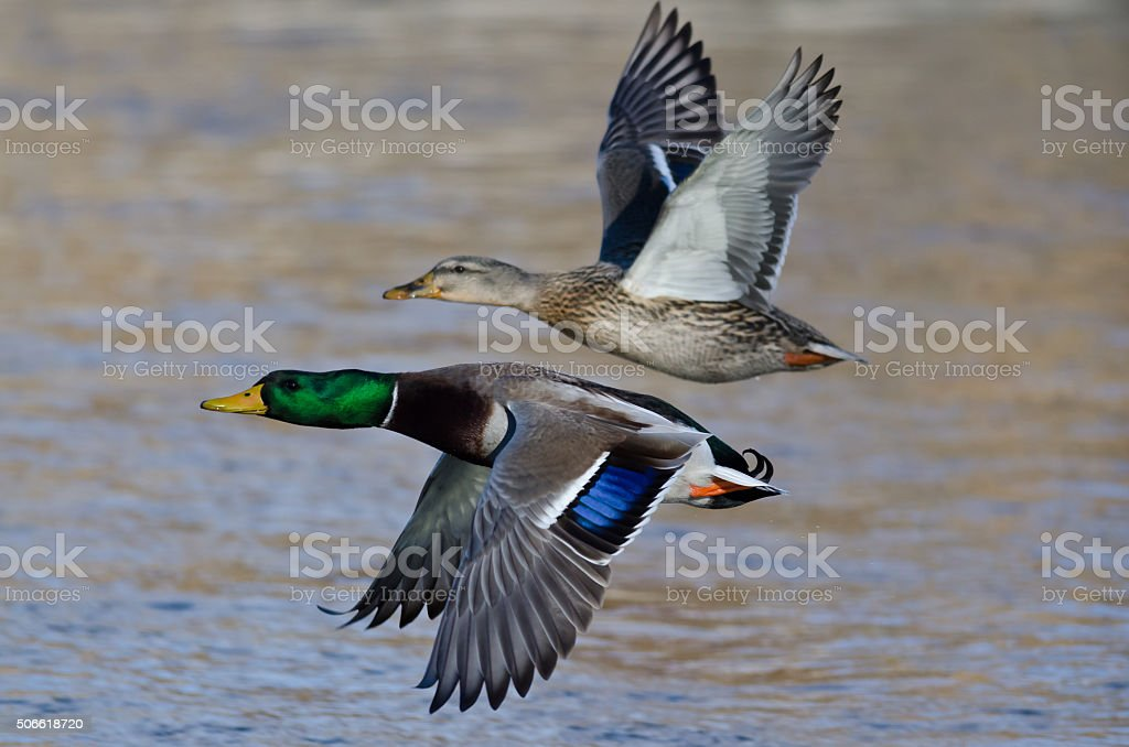 Pair of Mallard Ducks Flying Low Over the River stock photo