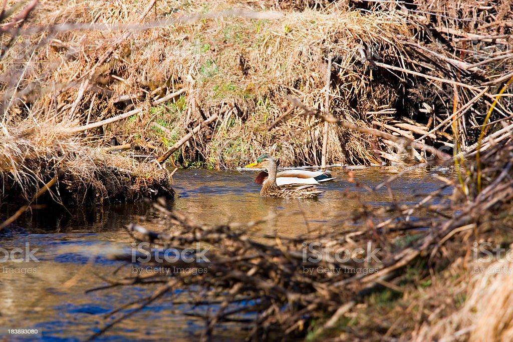 Pair of Mallard Ducks royalty-free stock photo