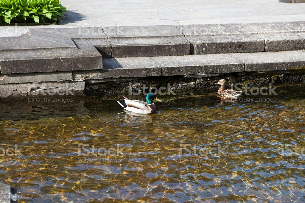 Pair of Mallard ducks stock photo