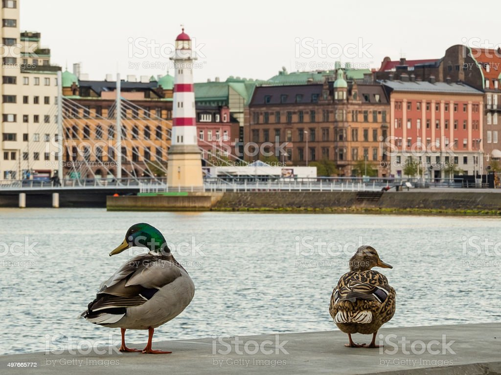 Pair of mallard ducks with blurred background old lighthouse Malmo stock photo