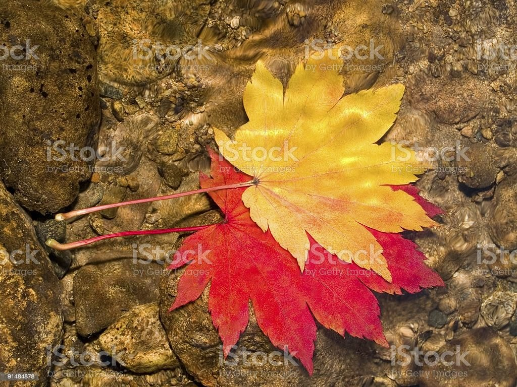 pair of maple leaves in forest stream royalty-free stock photo