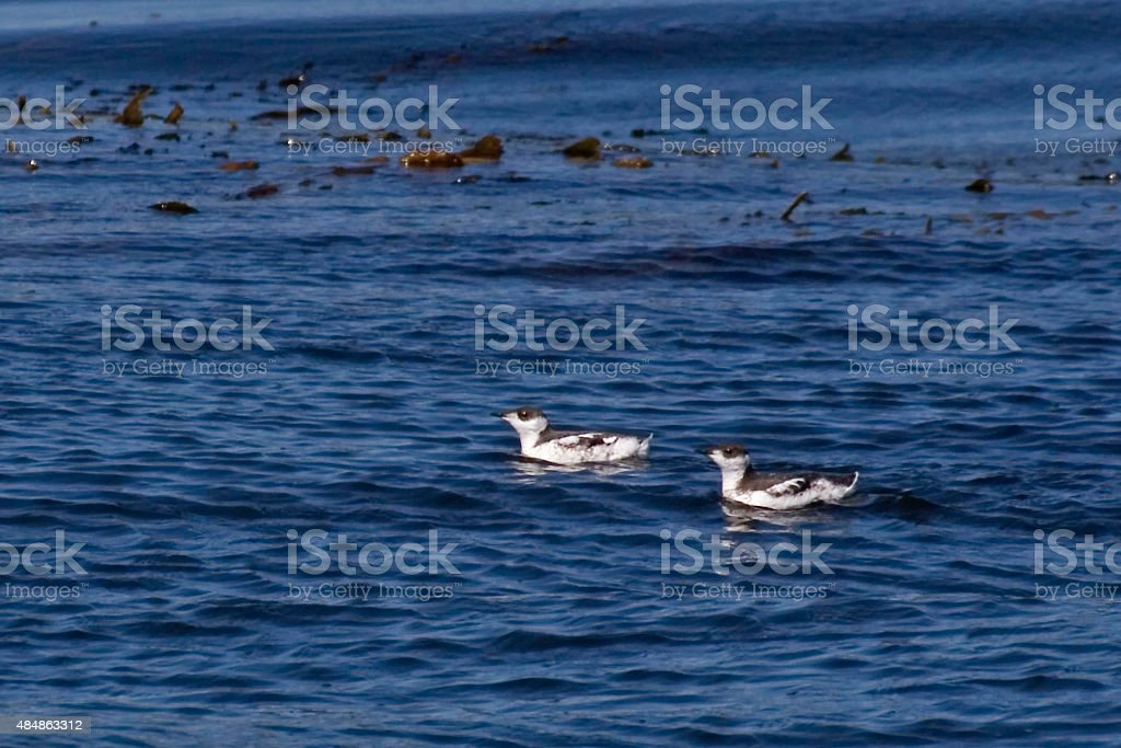 Pair of Marbled Murrelet swimming in the North Pacific stock photo